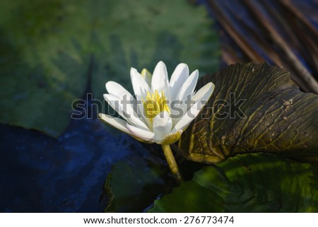 Nenuphar white flowers that are blooming. - stock photo