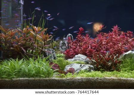 Neon Tetra Stock Royalty Free & Vectors #2: stock photo neon tetra fish in aquarium planted tank