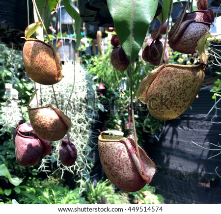 Nepenthes : The tropical pitcher plants Nepenthes,also known as tropical pitcher plants or monkey cups that refer to the fact that monkeys have been drinking rain water from these plants. - stock photo