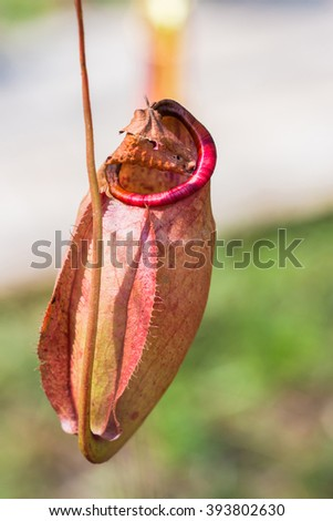 Nepenthes tropical carnivore plant. - stock photo