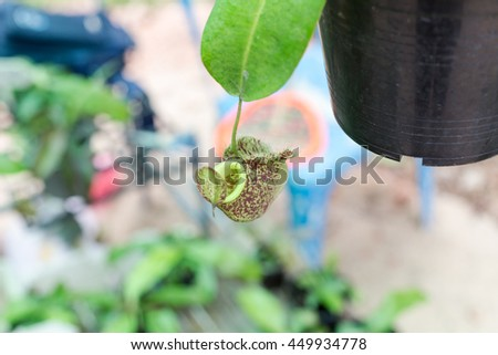 Nepenthes, tropical pitcher plants or monkey cups - stock photo