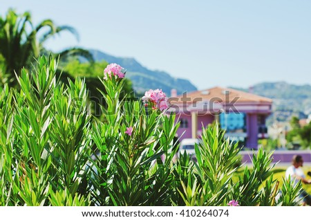 Nerium oleander blossom, oleander rose bay flower with fresh green foliage on a sunny day, Marmaris, Turkey - stock photo