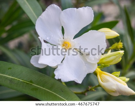 Nerium oleander is an evergreen shrub or small tree in the dogbane family Apocynaceae, toxic in all its parts.