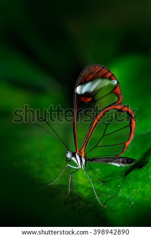 Nero Glasswing, Greta nero, Close-up of transparent glass wing butterfly on green leaves, scene from tropical forest, Costa Rica, resting on a green leaf, beautiful insect in the green nature habitat - stock photo