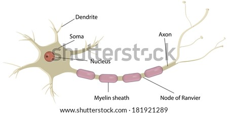 Nerve cell neuron labeled diagram stock illustration 181921289 nerve cell neuron labeled diagram ccuart Gallery