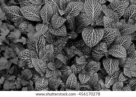 Nerve plant painted net leaf nature background. Black and white.