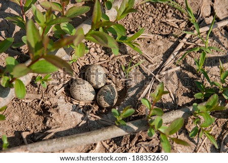 nest of a little ring plover - stock photo