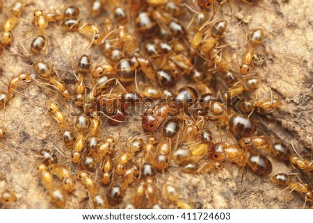 Nest of ants, yellow ants in nest, colony of yellow ants, Morocco