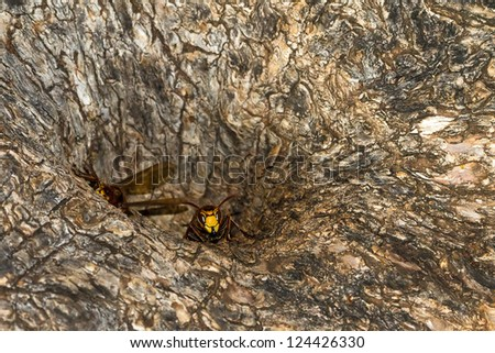 Nest of european hornets in the trunk of a tree
