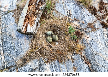 Nest of the Common Gull (likely). (Larus canus).  The photo was taken in the Kandalaksha Gulf of the White Sea. Russia, Murmansk region. Island Lodeinoe.