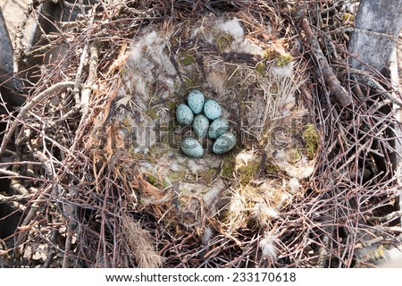 Nest of the Corvus corax, Common Raven in the Nature - stock photo