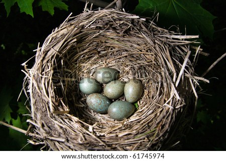 Nest of the fieldfare (Turdus pilaris) with  green eggs. - stock photo