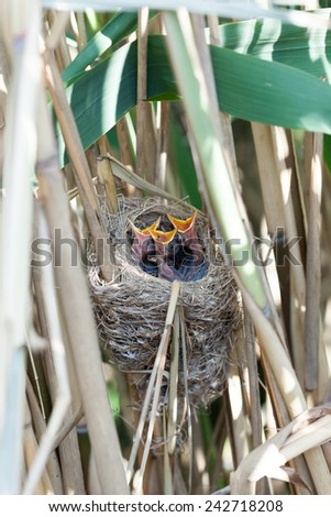 Nest of the Great Reed Warbler (Acrocephalus arundinaceus) in the nature.