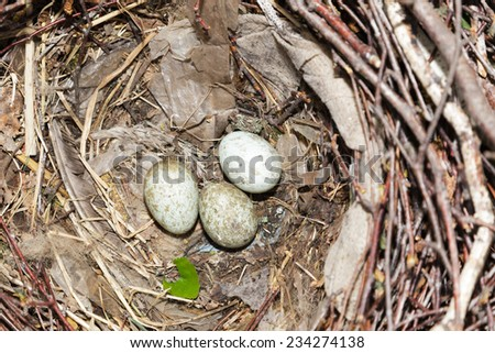 Nest of the Rook (Corvus frugilegus). - stock photo