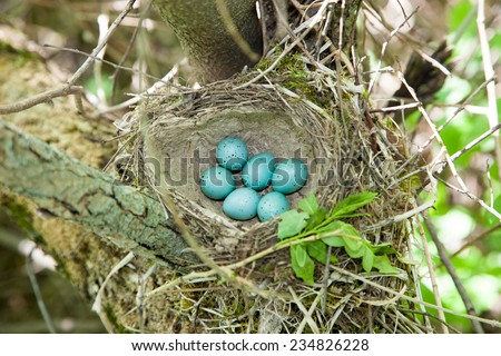 Nest of the Turdus philomelos, Song Thrush. - stock photo