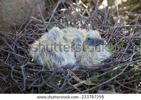 Nest with two juvenile common wood pigeons in the Netherlands. - stock photo
