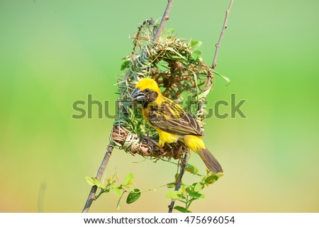 Nesting Asian Golden Weaver, in Thailand