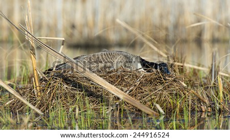 Nesting Canada Goose - stock photo