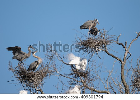Nesting Great Blue Herons and Great Egrets - stock photo