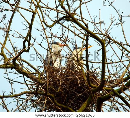 Nesting herons - stock photo