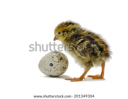 Nestling quails is waiting for its sibling - stock photo