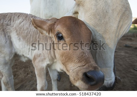 nestling warm calf and cow in the morning