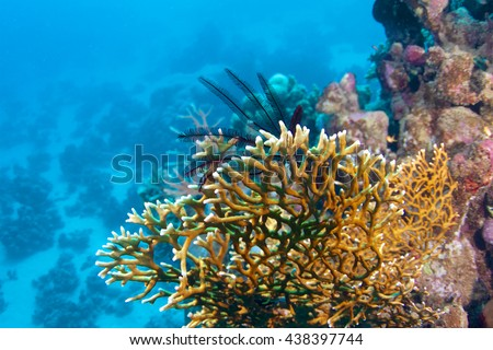 Net fire coral  (Millepora dichotoma) of Red Sea.