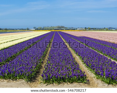 Netherlands, South Holland, Lisse. Hyacinths (Hyacinthus) flowers bloom in a bulb field in spring.