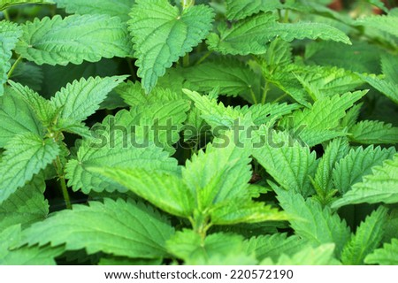 Nettle background. Background nettle leaves photographed close-up - stock photo