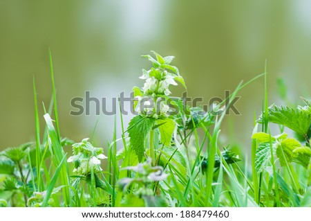 Nettle blooming at spring - stock photo