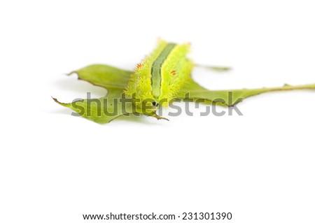 Nettle caterpillar (Parasa Lepida) is eating leaf against white background - stock photo
