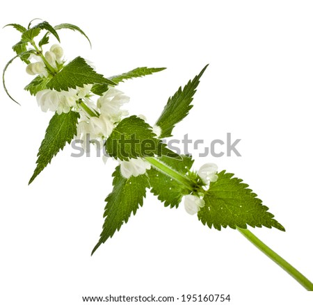 Nettle flowering  (Lamium album)  isolated on white background - stock photo