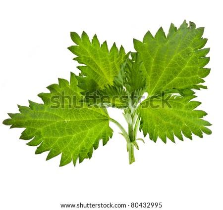 nettle leaves - stock photo