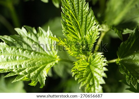 nettle leaves in nature. close-up