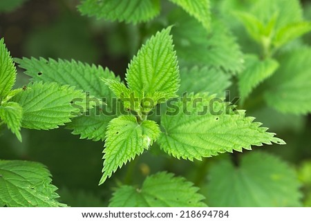 Nettle plant closeup in the forest - stock photo