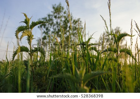 Nettle plant in field. Green natural background with soft bokeh. Selected focus. Detailed picture.