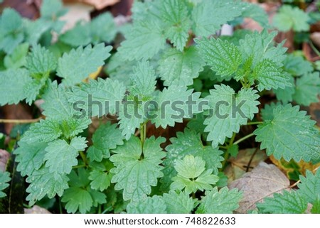 Nettles, a very magical healing plant to cleanse your body mind and spirit