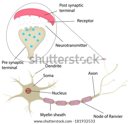 Neuron synapse labeled diagram stock illustration 181932533 neuron and synapse labeled diagram ccuart Image collections