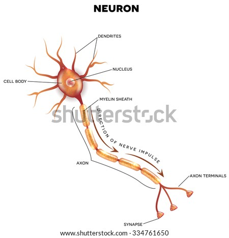 Neuron that is the main part of the nervous system with description - stock photo