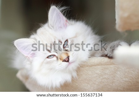 neva masquerade kitten of siberian cat