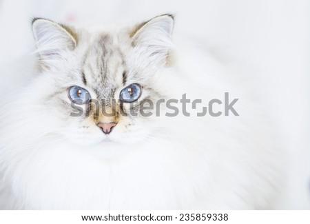 neva masquerade version of siberian cat in winter time - stock photo