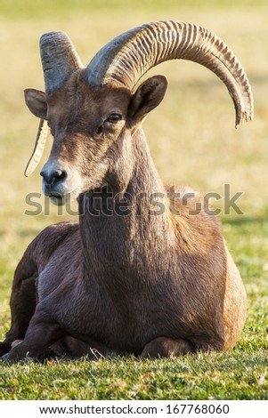 Nevada Desert Big Horn Ram Sheep - stock photo