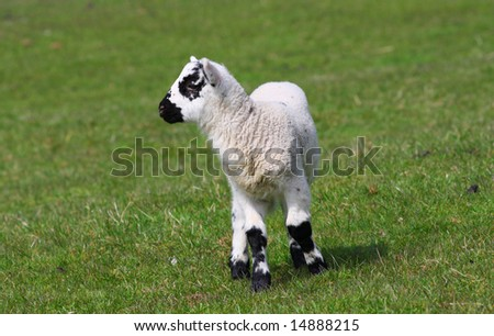New born black and white lamb in a green field