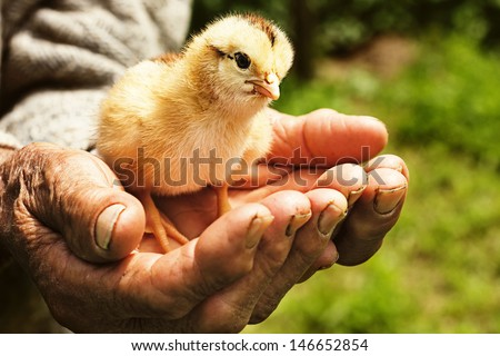 New born chicken in palms of an old man outside - stock photo
