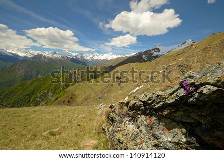 New born flowers in the rock and snowcapped high mountain range in the background. Location: western Alps, Piedmont, Italy. - stock photo