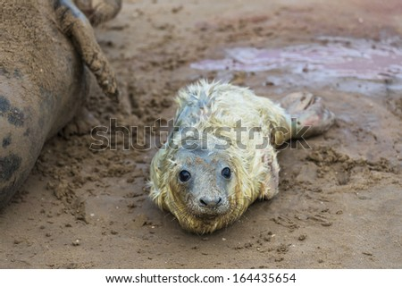 New born grey seal pup (Halichoerus grypus) on the beach with it's mother in the background  - stock photo