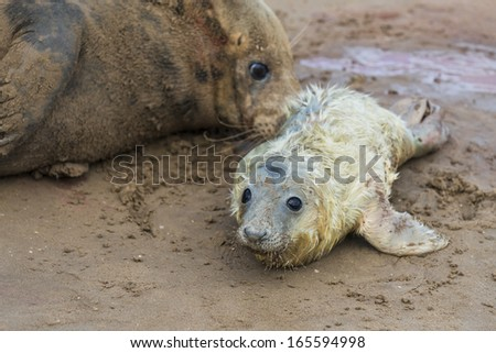 New born grey seal pup (Halichoerus grypus) on the beach with it's mother in the background, Donna Nook, UK - stock photo