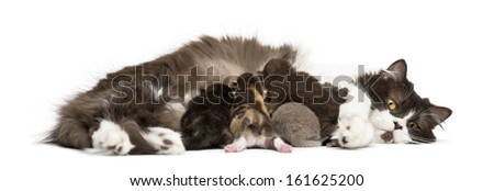 New-born Highland straight or fold kitten lying, 1 week old, isolated on white - stock photo