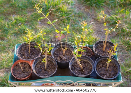 New born home made organic pomegranate sets in vase, very shallow depth of field and soft light. Concept of healthy eating and home made plant nursery. - stock photo