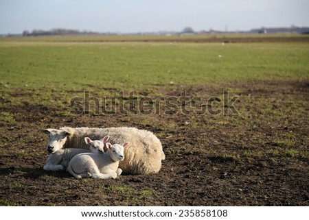 New born lamb in the meadows of Texel - stock photo